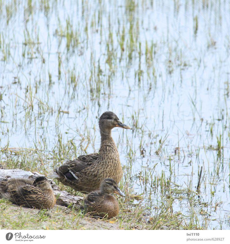 Stockenten Natur blau schön grün Wasser Pflanze Sommer Tier schwarz Wärme Gras außergewöhnlich braun Zusammensein Erde Wildtier