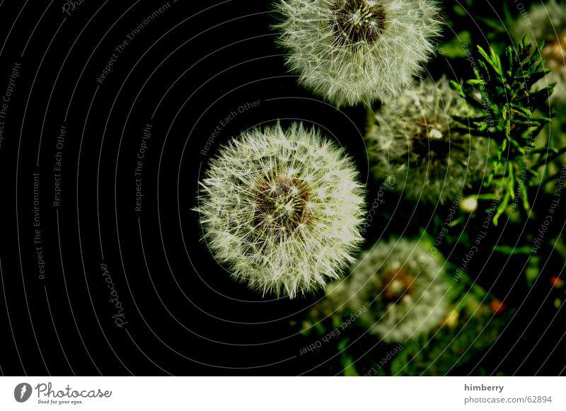 pusteblumen Löwenzahn Blume Pflanze Samen Natur Wildpflanze Floristik Botanik Garten Park Makroaufnahme Nahaufnahme