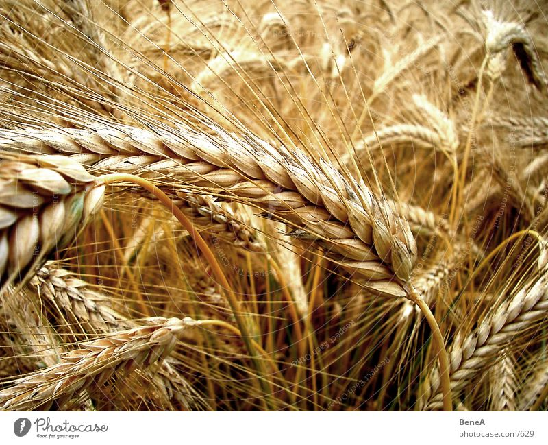 Korn Weizen Feld Landwirtschaft Lebensmittel Ernährung ökologisch Biologie gelb grün Reifezeit Wachstum Gesundheit Vegetarische Ernährung Pflanze Stengel