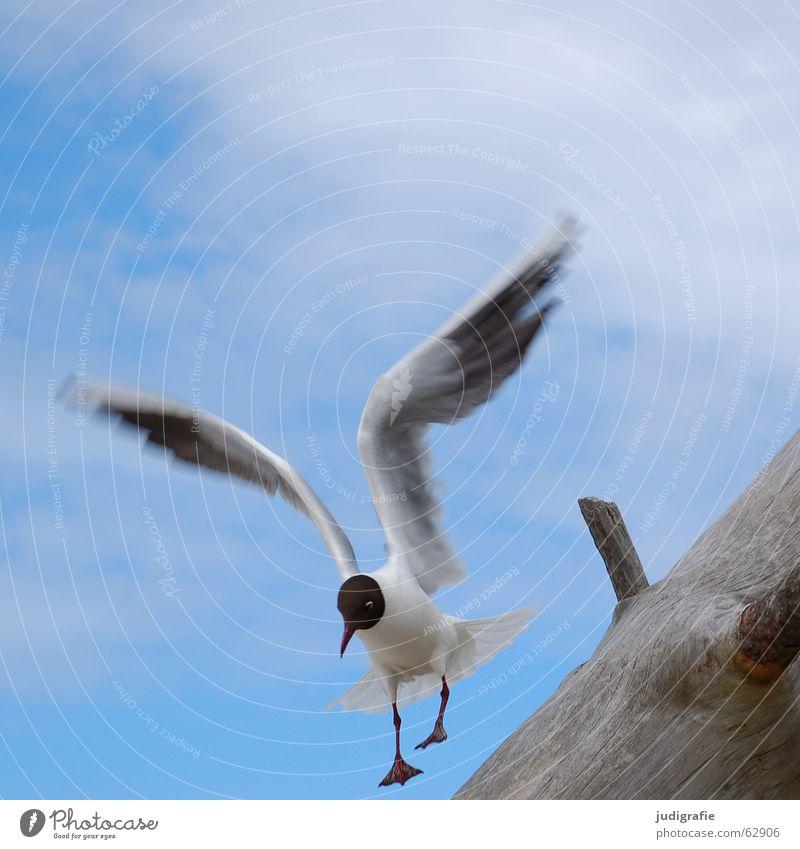 Landung tollpatschig See Möwe Vogel Wolken Sommer Baum Holz Strand Meer Ferien & Urlaub & Reisen Feder Schnabel Absturz Zufriedenheit Fischland Weststrand