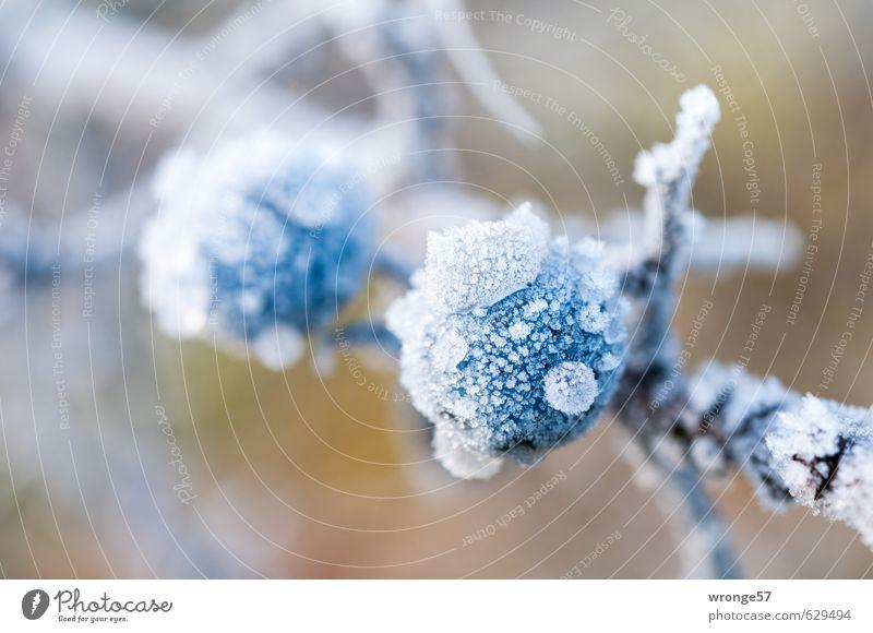Eisschlehen II Natur blau weiß Pflanze Winter kalt braun Frucht Sträucher Frost nah Zweig Beeren Nutzpflanze Eiskristall