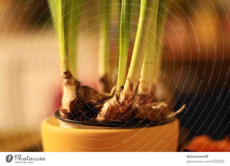 Der Frühling kommt... Pflanze Blatt Topfpflanze Narzissen Gelbe Narzisse Knollengewächse Blühend Duft Wachstum braun gelb grün Blumentopf Trieb Lebenskraft