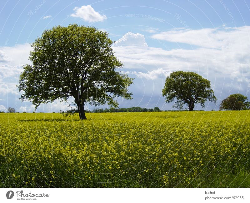Der Norden ist schön ... Sommer Natur Landschaft Himmel Wolken Herbst Baum blau gelb grün Rapsfeld Farbfoto Außenaufnahme Tag Sonnenlicht Menschenleer