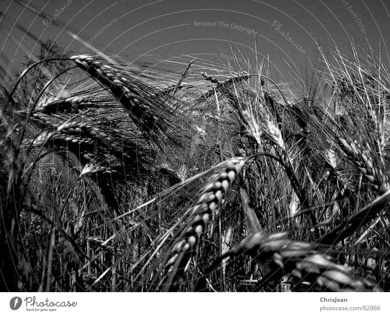 Weizen SW Ebene Niederrhein Feldarbeit Gerste Landwirtschaft Agra Ähren corn Getreide Landschaft Ernte Amerika Schwarzweißfoto schwarz weiß ähre Natur