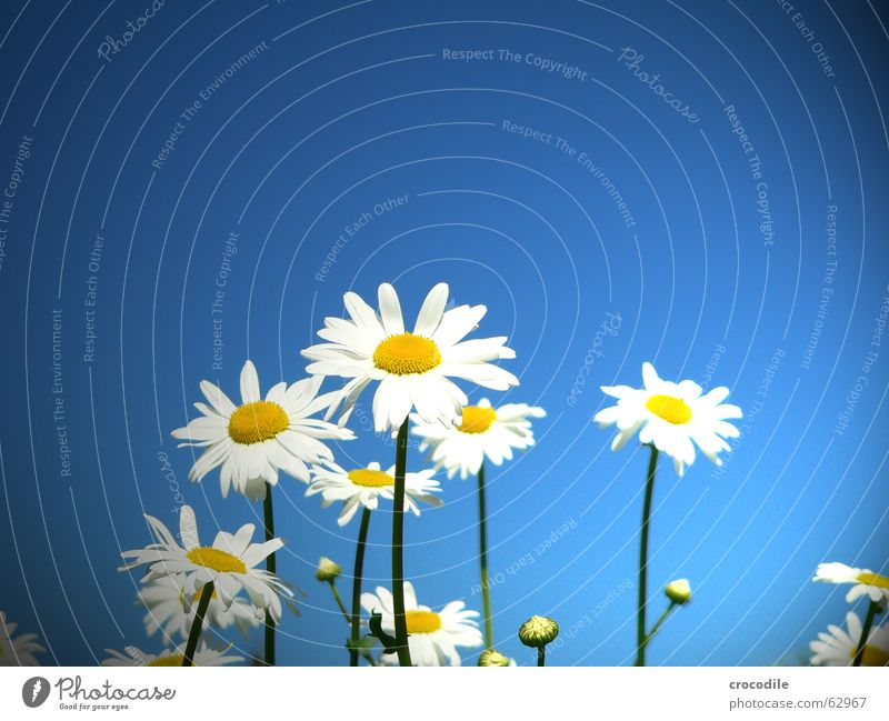 gänseblümchen im blauen Gänseblümchen Blume Stengel Blüte Sommer Frühling Freude Himmel Schönes Wetter