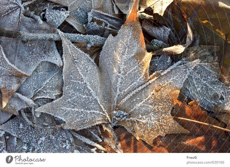 auftauen Natur Pflanze Sonne Sonnenlicht Winter Eis Frost Blatt Ahorn natürlich trocken braun weiß kalt gefroren Ahornblatt Eiskristall Farbfoto Außenaufnahme