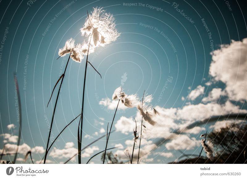 gen Himmel empor Natur Landschaft Pflanze Wolken Horizont Sonne Sommer Schönes Wetter Gras Wollgras Wollgraswiese Feuchtgebiete Moor ästhetisch Unendlichkeit