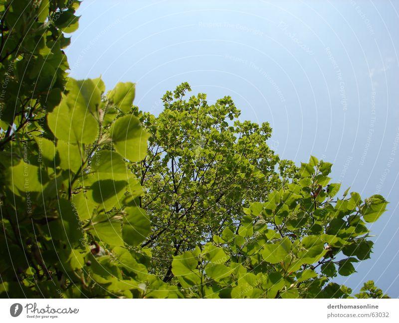 Baum mit Blättern Pflanze zyan hell-blau himmelblau himmlisch Blatt grün saftig frisch dünn beweglich zart Sommer kühlen Wachstum Erholung Baumkrone Blätterdach