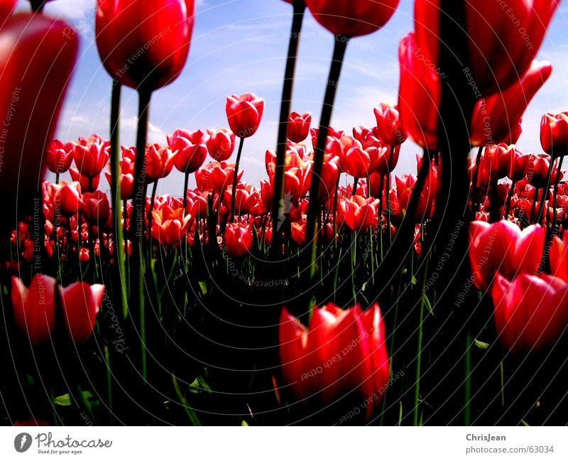 Tulpenfeld 2 Licht gegen rot rosa erleuchten Blume himmelblau Feld Halm Leben Agra Landwirtschaft Vielfältig Gemälde stechend Wolken Erholung baumeln ruhig