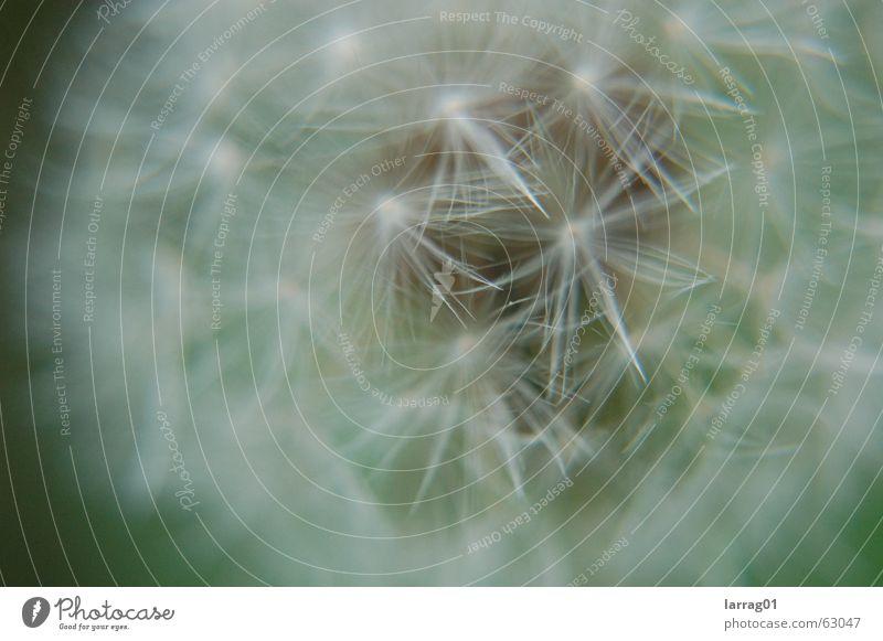 puste mal! Löwenzahn blasen Wiese Luft Spielen unberechenbar hart schön weiß weich zart zerbrechlich startbereit Fortpflanzung Aussaat Kostbarkeit gelb Blume