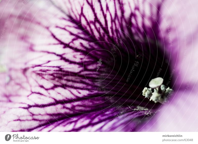 The Blossom Blume schwarz rosa Eisenbahn violett stark Blut Gefäße intensiv