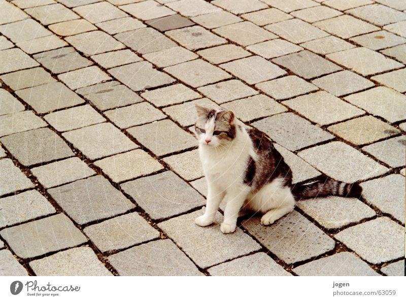 Mimikry Tier Stein Katze süß Bodenbelag niedlich Bürgersteig Säugetier Pflastersteine Hauskatze Tarnung scheckig