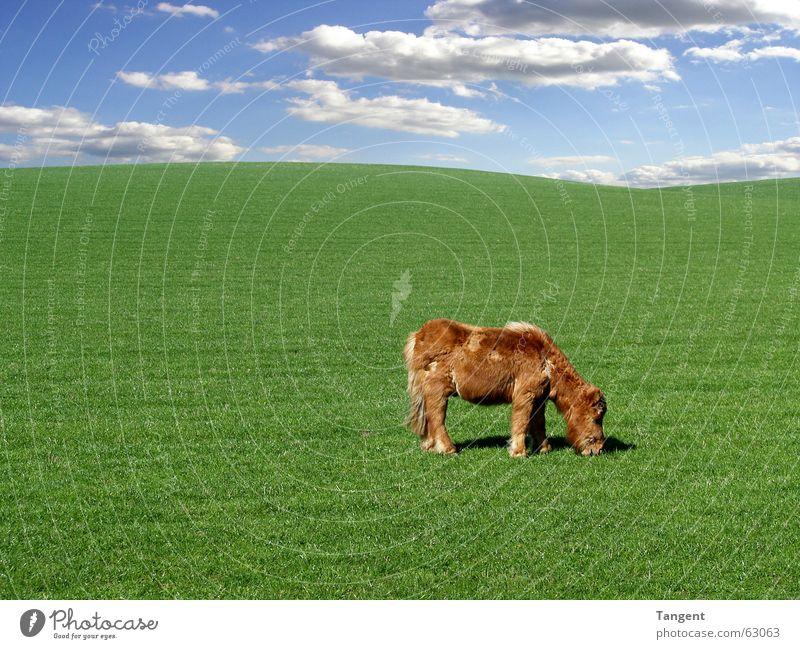 Der Spezialist ruhig Umwelt Himmel Wolken Gras Hügel Fell Tier Nutztier Pferd 1 Tierjunges blau grün Schottland shetland pony Hintergrundbild Textfreiraum links
