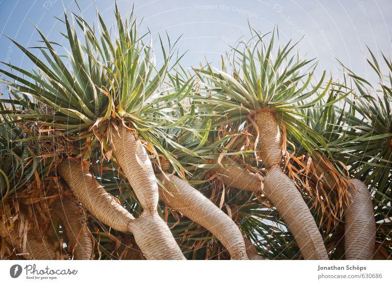 La Orotava / Teneriffa III Natur Ferien & Urlaub & Reisen blau grün Pflanze Baum Erholung Blatt Umwelt Wärme lustig braun ästhetisch Ast Spanien Süden
