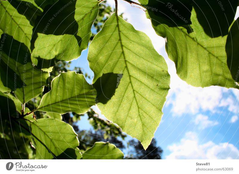 Sun Above #2 Blatt Wolken grün Baum Sommer Schattenspiel Luft faulenzen Himmel blau Ast Natur Freiheit