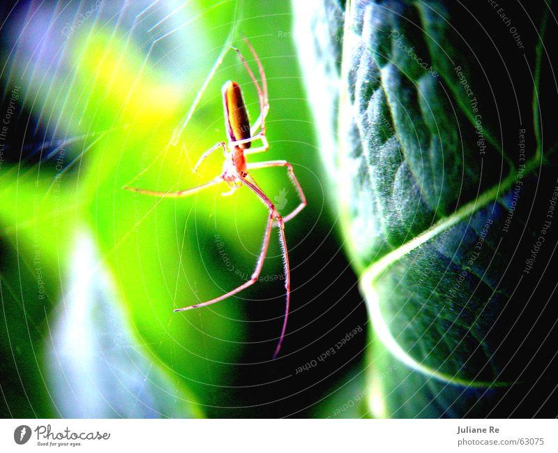 Spinne | Grün Natur grün Blatt Tier Leben Netz Insekt