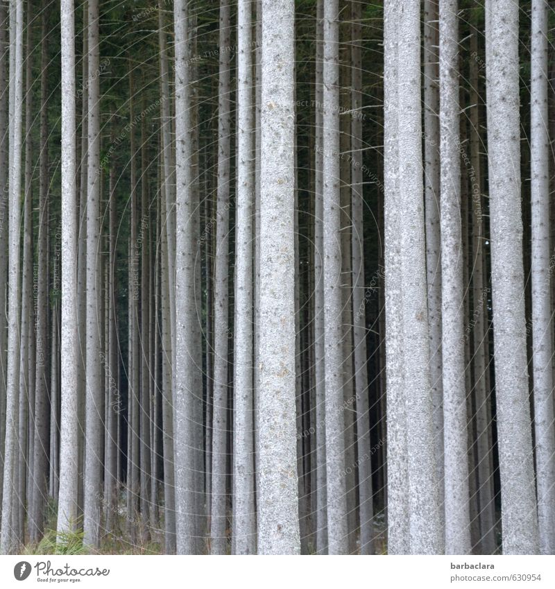 Gruppenfeeling   Wir sind Wald Natur Baum Landschaft Wald Umwelt grau Holz Linie hell mehrere stehen hoch viele dünn Reihe dick