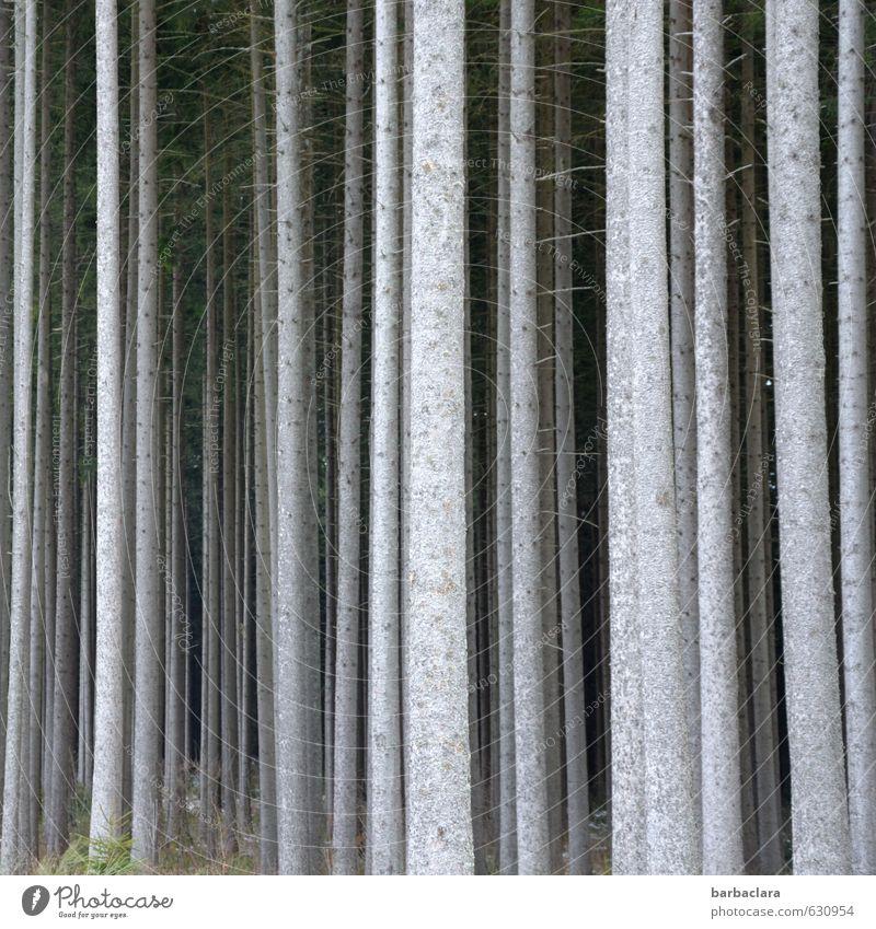 Gruppenfeeling | Wir sind Wald Umwelt Natur Landschaft Baum Baumstamm Holz Linie Reihe stehen dick dünn hell hoch viele grau mehrere Gedeckte Farben