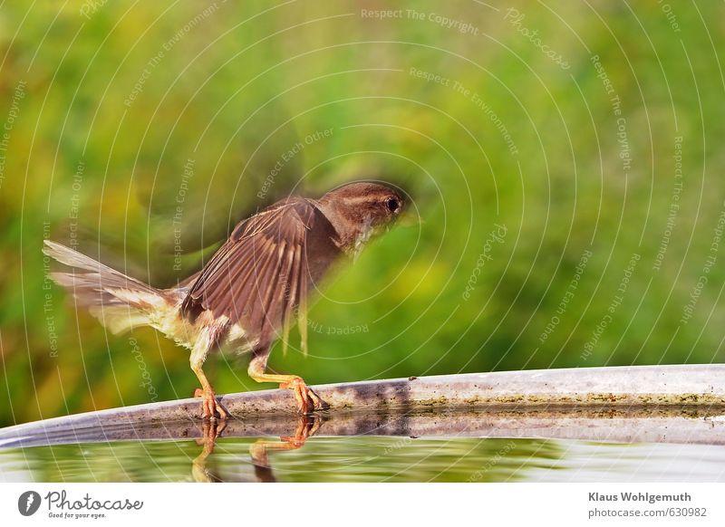 """Auf und davon ( """"Flügelwesen """") grün Wasser Tier gelb Schwimmen & Baden braun Vogel fliegen Wildtier trinken Spatz Krallen Futterhäuschen Viehtränke"""