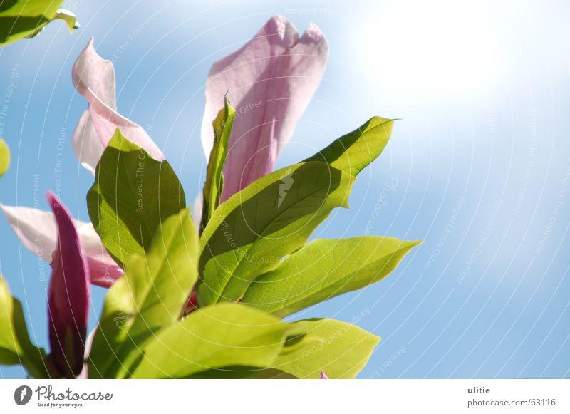 Der Sonne entgegen Natur Himmel weiß Baum Sonne Blume grün blau dunkel Blüte hell rosa Sträucher Magnoliengewächse