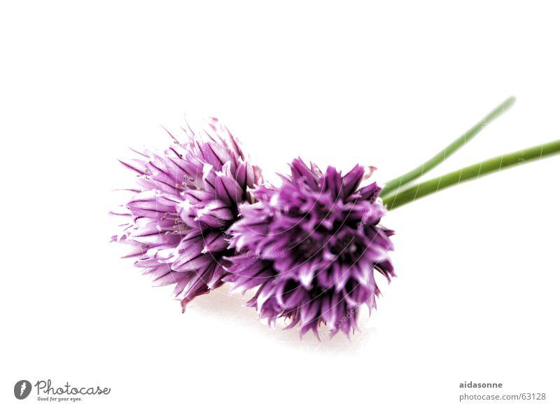 Schnittlauchblüten Biologie Blüte Ernte essbar Feld frisch Gesundheit Kräuter & Gewürze grün Landwirtschaft violett Stengel Pflanze hohl Obst- oder Gemüsestand