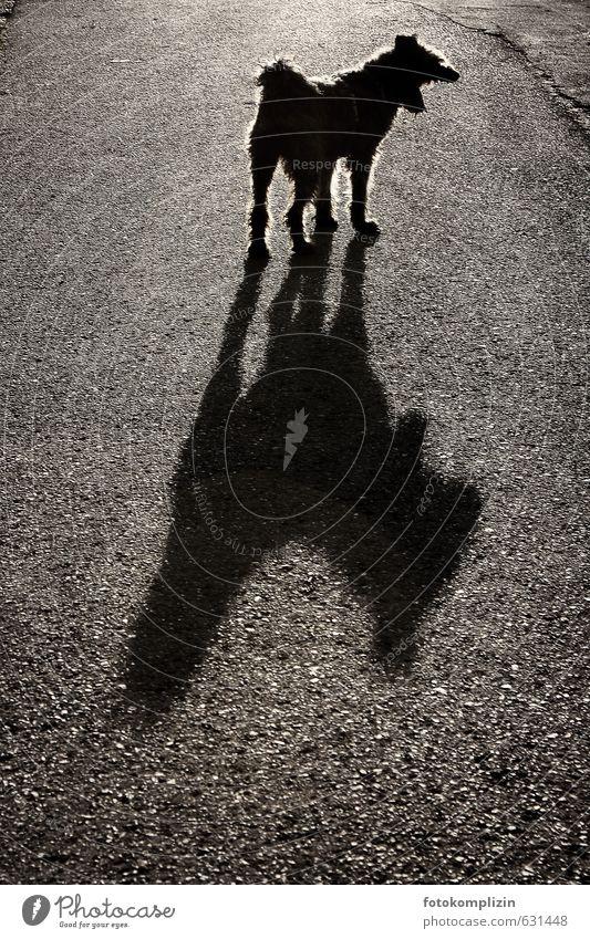 schattenwolf Tier Hund Aggression bedrohlich groß gruselig lustig schwarz Stimmung Mut Wachsamkeit gefährlich Nervosität Respekt Volksglaube Wut