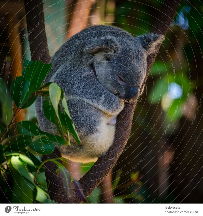 Slow Motion in allen Lebenslagen Natur Tier exotisch Ast Australien Koala 1 natürlich Wärme Gefühle Geborgenheit friedlich Idylle Hochsitz Eukalyptusbaum