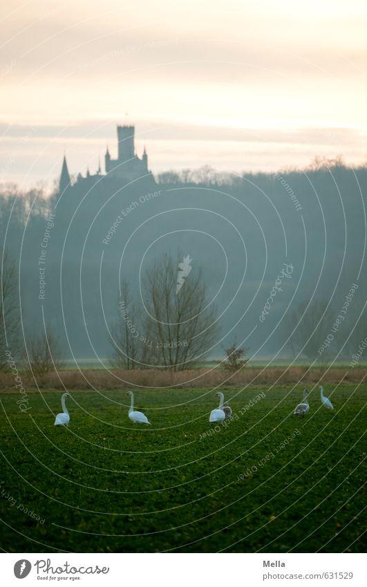 Die Schwäne des Königs Umwelt Natur Landschaft Himmel Wiese Feld Wald Burg oder Schloss Turm Bauwerk Gebäude Sehenswürdigkeit Tier Wildtier Schwan Tiergruppe