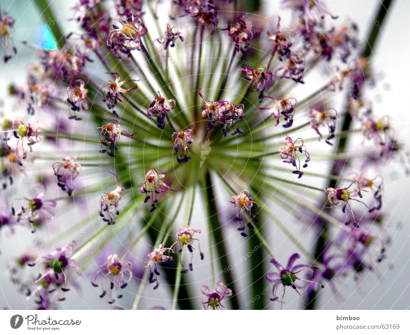 Flower Blume violett explosiv