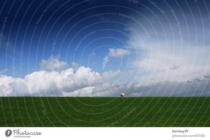 Unterm Schaf grün Wiese Hintergrundbild Wolken Himmel blau sky Landschaft