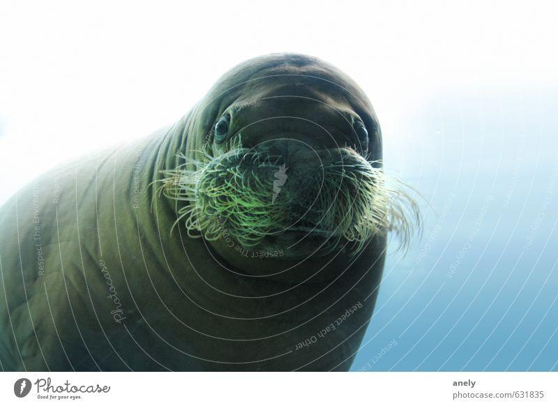Im Spiegel Natur Wasser Meer Tier Wildtier Zoo Aquarium 1 Gelassenheit Neugier Überraschung Seelöwe Barthaare Glubschauge Unterwasseraufnahme ruhig dick
