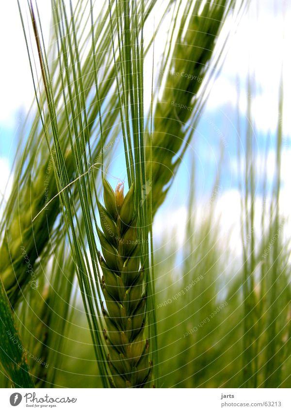 In Ähren Sommer Landwirtschaft Feld Gerste Strichhaar Korn Natur Himmel gedreide jarts Bioprodukte