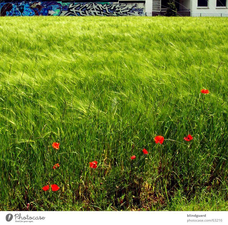 Red Dots In Green Only Meer grün rot Graffiti Wellen Bauernhof Getreide Mohn Ackerbau Gerste Klatschmohn