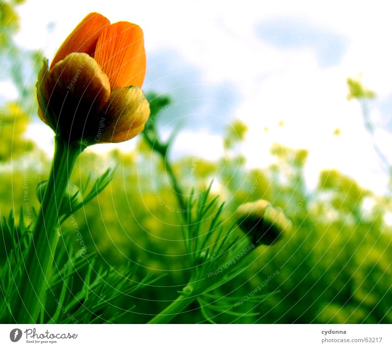 Ablöser des Rapsfeldes Mohn Blume Pflanze rot Blüte Reifezeit reif Sommer Stimmung aufgehen Wolken Vordergrund Unikat einzigartig Makroaufnahme Nahaufnahme