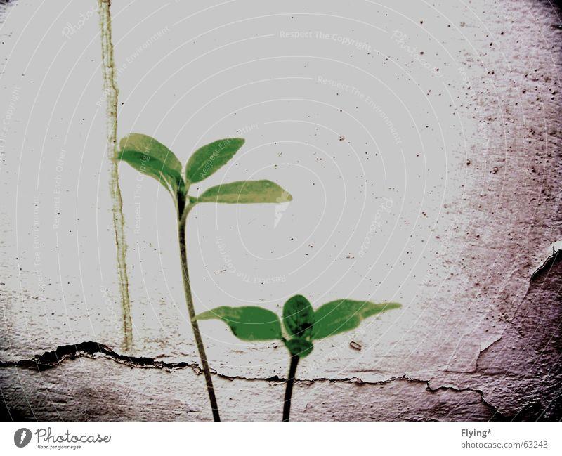 babysonnenblumen alt grün Pflanze Blatt Leben 2 dreckig Hoffnung Stengel Blühend Sonnenblume Jungpflanze sprießen