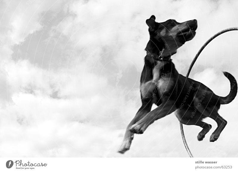 FLUGHUND Wolken springen Schwung Schwanz Hund Kreis Luftverkehr Schwarzweißfoto