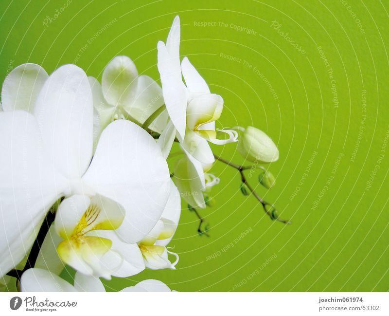 Orchidee Blüte Blütenknospen Makroaufnahme