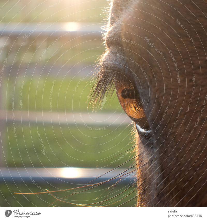 schau mir ins auge, kleines Tier Nutztier Pferd Tiergesicht Auge 1 Blick Pferdekopf Pferdeauge Wimpern Pupille Quadrat Farbfoto Außenaufnahme Nahaufnahme