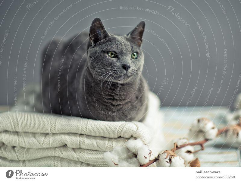 Russian Blue elegant Pullover Tier Haustier Katze russisch blau 1 Wolle Decke Baumwolle Tisch beobachten Erholung genießen Blick Freundlichkeit Fröhlichkeit