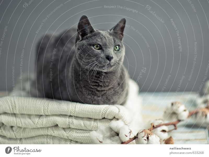 Russian Blue Katze blau schön Erholung Tier grau elegant Zufriedenheit Fröhlichkeit genießen beobachten Warmherzigkeit niedlich Tisch weich Freundlichkeit