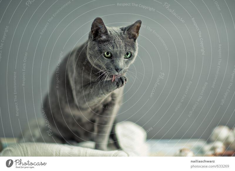 Russian Blue elegant Pullover Tier Haustier Katze russisch blau 1 Wolle Decke beobachten Erholung Reinigen Blick schön natürlich retro grau Tierliebe Romantik