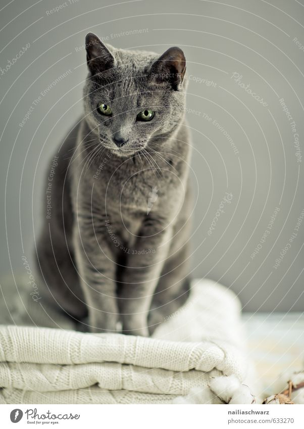 Russisch blau elegant Pullover Tier Haustier Katze Tiergesicht russisch blau 1 Decke beobachten entdecken Erholung leuchten Blick sitzen Freundlichkeit