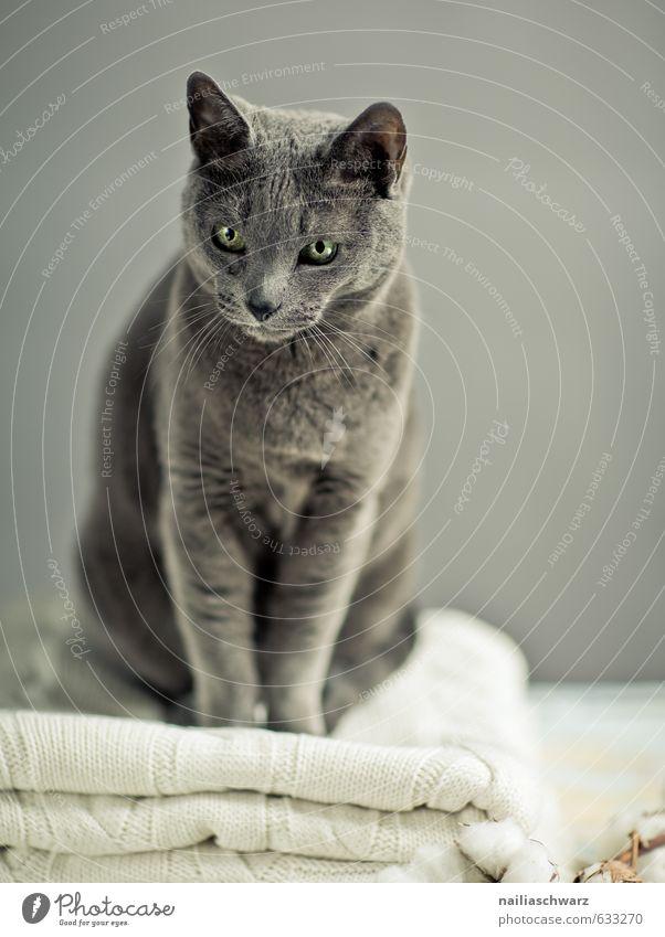 Russisch blau Katze schön Erholung Tier grau natürlich elegant Zufriedenheit leuchten sitzen Fröhlichkeit beobachten niedlich retro Freundlichkeit