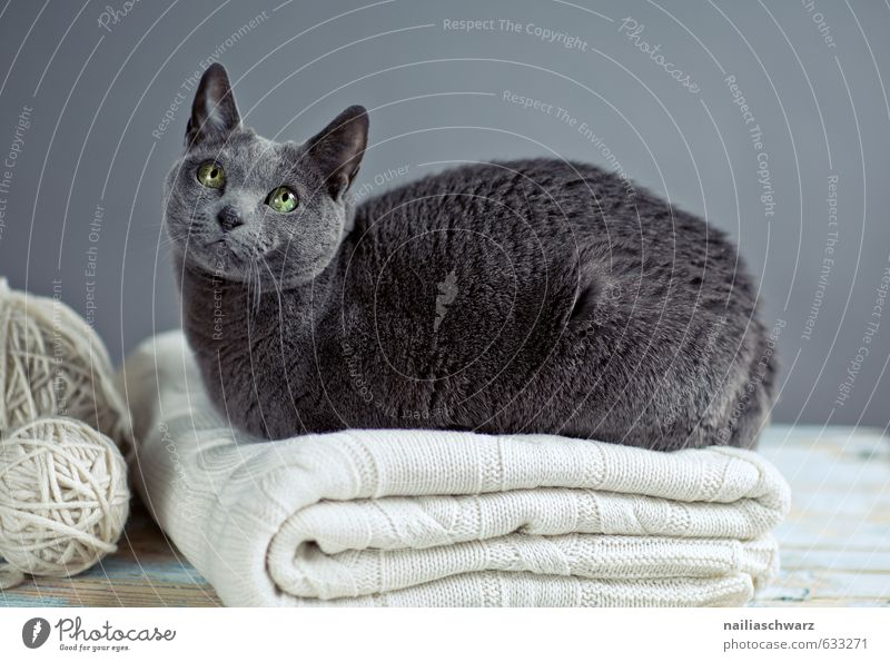 Russian Blue Katze blau schön Erholung Tier grau Glück natürlich liegen elegant Zufriedenheit Warmherzigkeit beobachten niedlich retro Lebensfreude