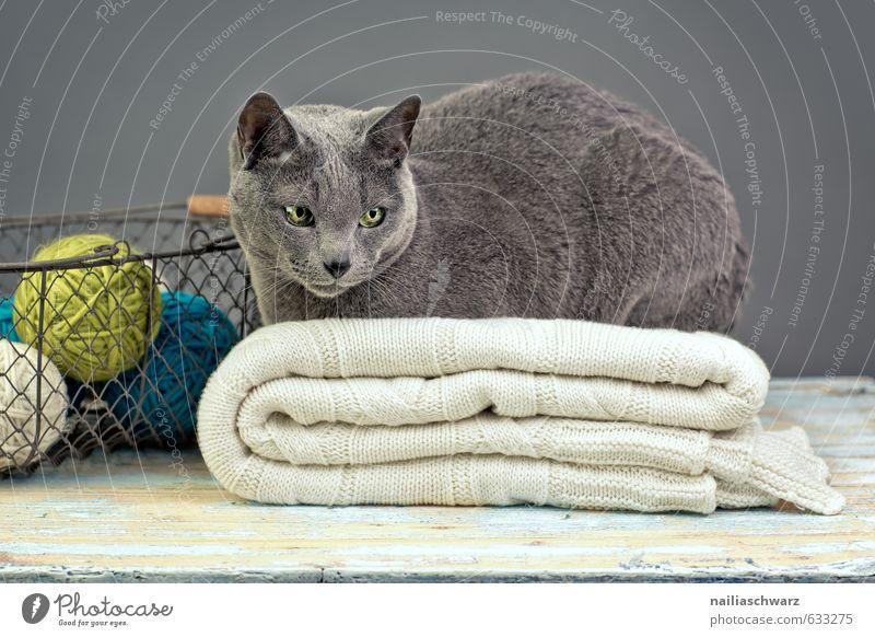 Russian Blue Katze blau schön Erholung Tier gelb grau Metall träumen liegen elegant Dekoration & Verzierung beobachten weich retro rein