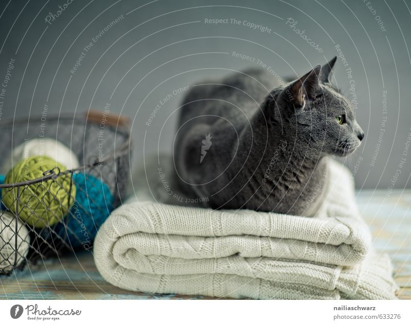 Russisch Blau Katze blau schön Erholung Tier grau Holz Stimmung liegen elegant Idylle Zufriedenheit beobachten niedlich Neugier Gelassenheit