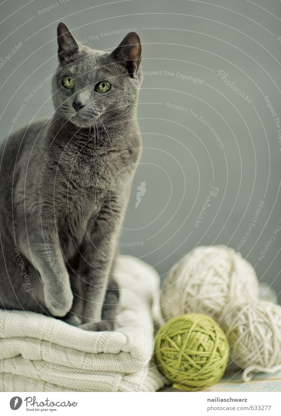 Russian Blue elegant Tier Pullover Haustier Katze russisch blau katzenrasse 1 Decke Wolldecke Knäuel Wolle beobachten entdecken Blick sitzen einfach frech