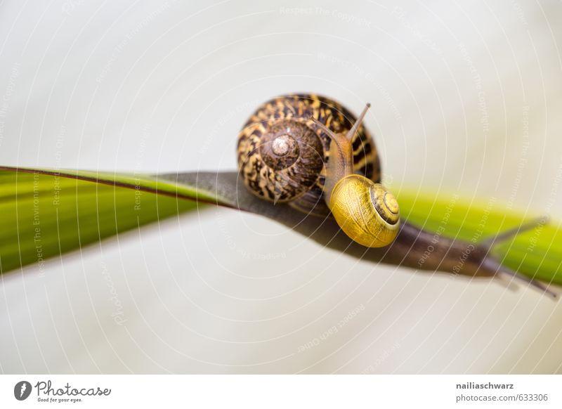 Two Snails Sommer Umwelt Pflanze Tier Frühling Gras Garten Park Wildtier Schnecke 2 Tierpaar Tierfamilie Spirale berühren Bewegung entdecken krabbeln schön