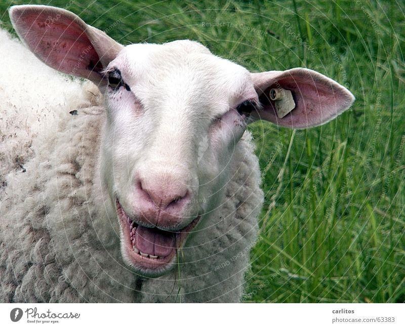 ICH LACH MICH TOT Tier lachen Glück lustig Mund Nase Fröhlichkeit verrückt Gebiss Freundlichkeit Schaf Neigung Lust Wolle Kopf drollig