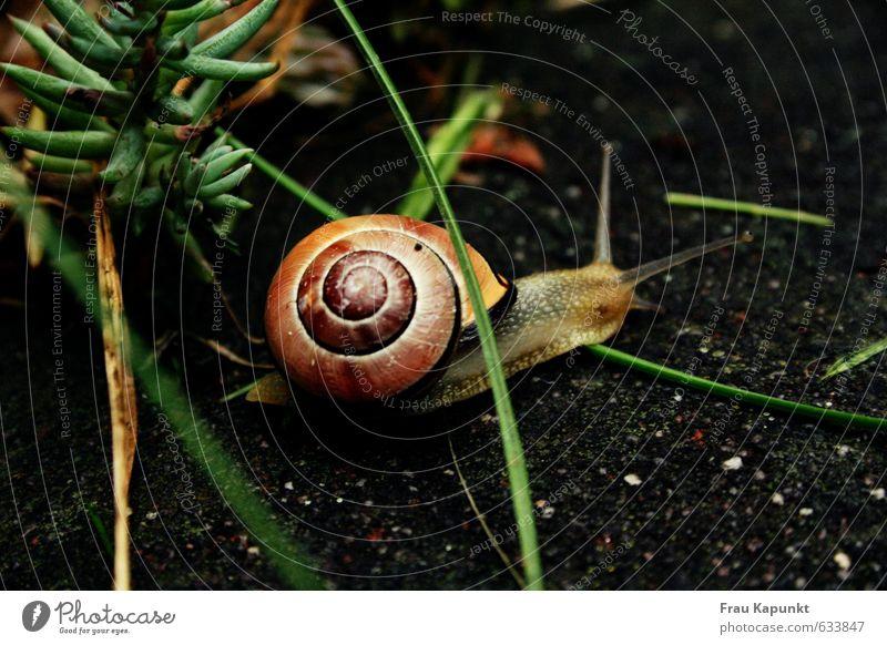 Hindernisrennen. Pflanze Tier Gras Wildtier Schnecke Schneckenhaus 1 ästhetisch braun grün krabbeln langsam Zeitlupe behäbig zielstrebig Asphalt geduldig Garten